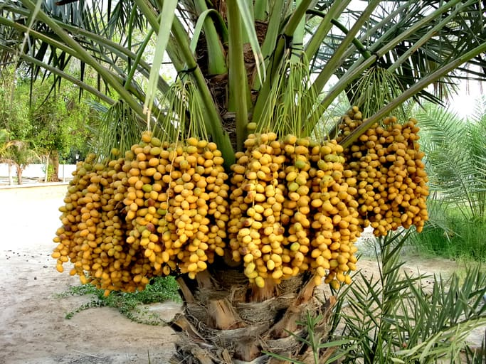 date palm trees loaded with fruit